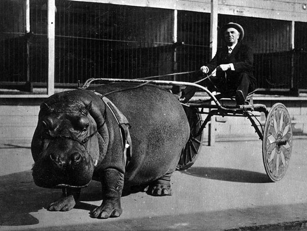 1924_Circus_hippo_pulling_a_cart